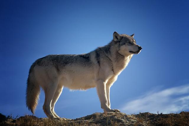 hledící vlk