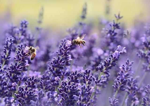 včely na levanduli