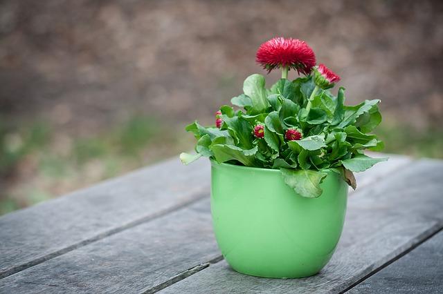 okrasná sedmikráska v květináči